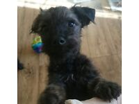Ready now 14 weeks old patterdoodle pups Patterdoodle Pups For Sale 1 Boy And 4 Girls