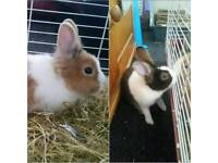 2 Beautiful Male Dutch Rabbits