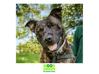 Rudi - Staffordshire Bull Terrier - 6 Years 2 Months - Looking for his Forever Home