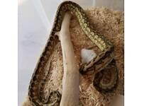 Striped caramel carpet python