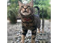 Female tabby cat missing