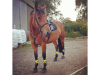 Horse for share in Pirbright - 17hh 12yo gelding