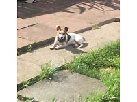 Free to good home jack Russell dog