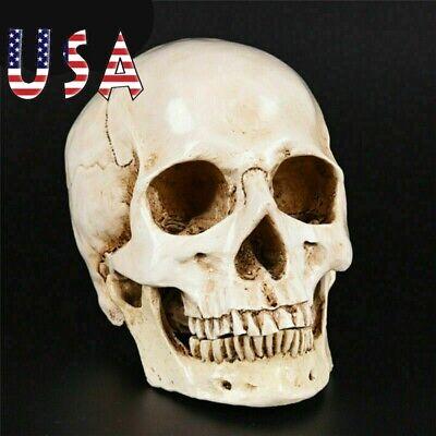 Life Size Resin Human Skull 1:1 Model Anatomical Medical Teaching Skeleton Head