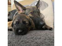 4 Beautiful KC German Shepherd Puppies