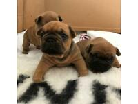 French bulldog pups for sale (1 girl sold)