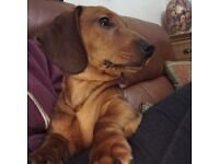 Red short hair male miniature dachshund