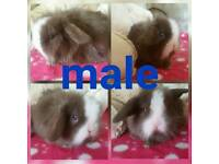 2 mini lion lops ready for reserve
