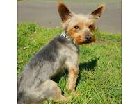 Gorgeous Yorkshire Terrier Boy, Rodney