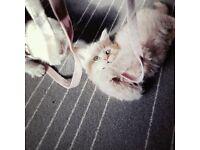 Cream BSH Kitten for Sale