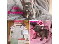 7 stunning triple, possibly quad carriers French Bulldog puppys