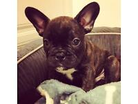 Kc reg french bulldog puppies for sale blue