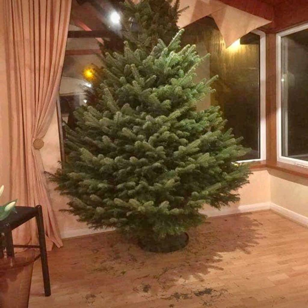 🎄RICHIES REAL Authentic traditional CHRISTMAS Trees Belfast | in ...