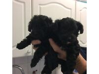 Very cute very small Yorkiepoo puppy ( both now reserved )