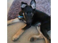 German Shepherd X 14 wk old puppy for sale