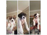 American bulldog cross staff pups