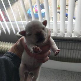 Kc reg chinchilla and white puppie