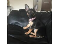 6 month female chihuaha
