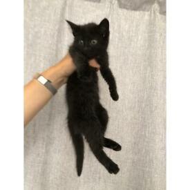 1beautiful black kitten remaining