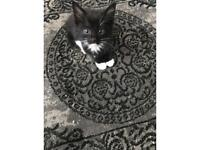 Half Bengal kitten black and white boy