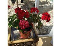 Beautiful Geraniums for sale