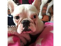 White Pyed French Bulldog looking for a loving caring home🐶