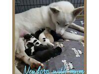 Beautiful big boned Malamute x huskita puppies