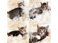 Beautiful Tabby Kittens Ready now 8 weeks old