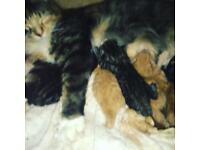 6 MAINECOON KITTENS 3 ginger 3 tabby
