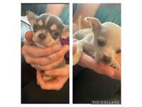 Chihuahua puppies x6