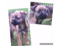Kc Registered Boarder Terrier Puppies