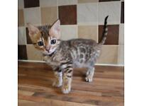 4 Full Bengal kittens