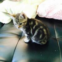 Stunning marble Bengal kittens