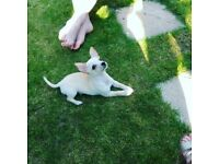 Bichon frise/chihuahua puppy for sale