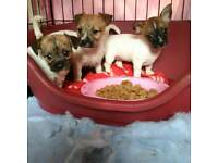 MINTURE JACKRUSSELS PUPS FOR SALE