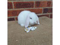 Mini lop babies, pure bred, blue eyed white (BEW)