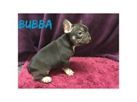 French bulldog puppies now available
