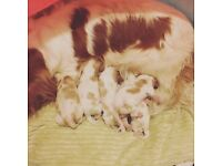King Charles Cavalier Spaniel Puppies