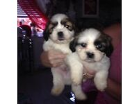 Shitzu Puppys looking for loving homes