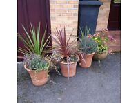 Smart large classy planters, come ready planted with free palms, lavender, etc, 3 available