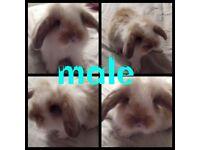 7 mini lop x lion head bunnies
