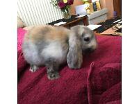 Cute, friendly, litter trained lop Eared Rabbit