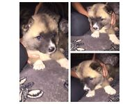 I have a gorgous Japanese Akita left for sale she's ready to go now fully weaned