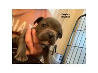 French Bulldog x Staffie puppies ***3 pups left***