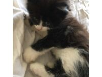 2 beautiful long haired kittens urgent free to good home