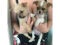2 gorgeous chishi pups ready now