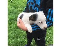 Border Collie x Terrier Girl