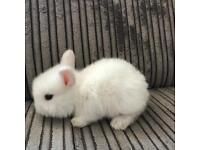 3 baby mini lop rabbits for sale