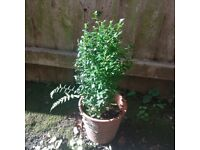 Small Buxus / Box Plant - Outdoor Plant (Reference: P46)