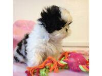 Cute Shih Tzu pup ready now